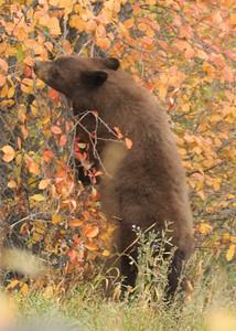 Brown Bear Eating Berries