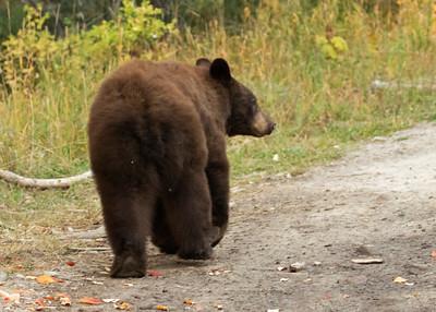 Three Year Old Brown Bear Strolling