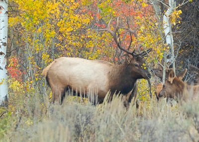 Bull Elk and Harem