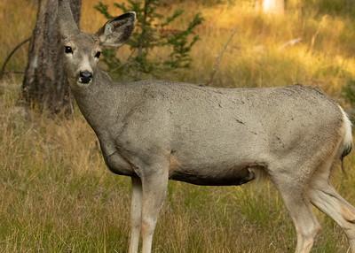 Female Mule Deer