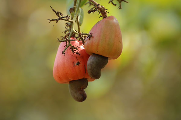 Fruit of the cashew
