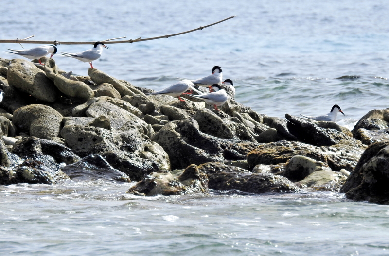 Bridled and RoseateTern Colony