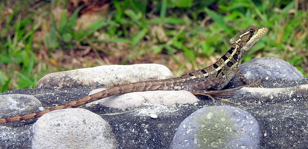 Brown Basilisk (female)