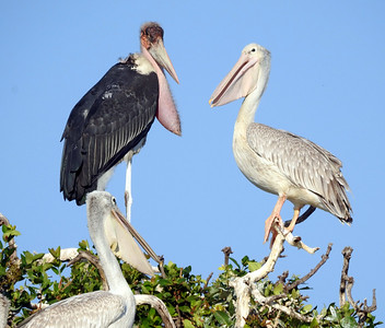 Marabou Stork and White Pelican