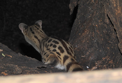 Small-Spotted Genet