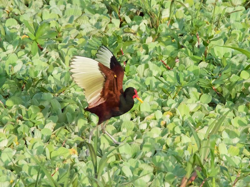 Wattled Jacana (Jacana jacana)