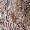 Narrow-billed Woodcreeper (Lepidocolaptes angustirostris)