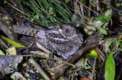 Band-tailed Nightjar