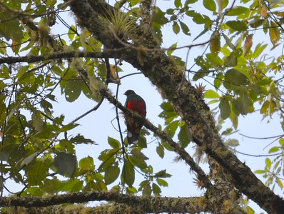 The White-tipped Quetzal occurs in the Santa Marta mountains of northern Colombia and in the mountain ranges of northern Venezuela.  it has the smallest distribution of any Quetzal