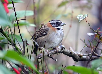 Rufous-collard Sparrow - One of the most common birds in the Neotropics. Seen most days of the trip.  Rufous-collard Sparrows are often encountered hopping on open ground as they forage for seeds and insects or singing from a  prominent perch on a shrub or rock.