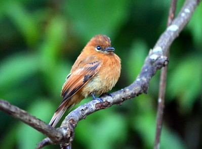One my favorite birds on the trip - common, easy to see and observe for long periods of time.  Cinnamon Flycatcher is a charming little flycatcher -  has a distinctive, emphatic rattle call.  There were many around the lodge.