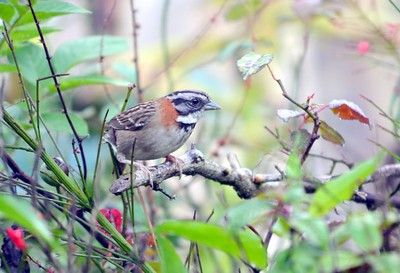 Roufous-collared Sparrow - very, very common, but still a beautiful bird