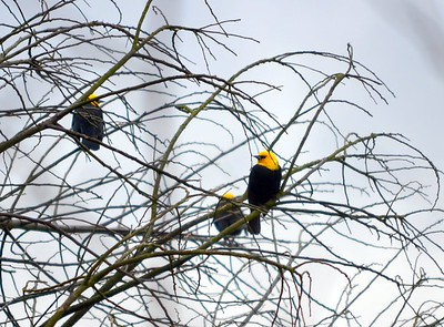 Yellow-Hooded Blackbirds