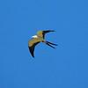 Swallow-tailed Kite (Elanoides forficatus)