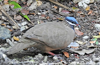 Blue-headed Quail Dove