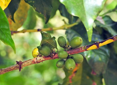 Shade Grown Coffee