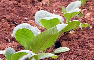 Tobacco plants in the rich red earth