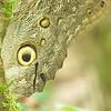 Owl Butterfly genus Caligo
