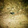 Dusky Nightjar (Antrostomus saturatus