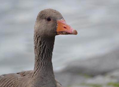 Birding Iceland