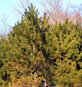 This is one of the small groups of pine trees that the owls perch in - they are generally about 6-8 feet above the ground. They seem to prefer pine trees but will sometimes perch in cedar trees.