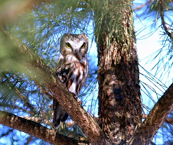 "These Owls hunt mainly at dusk and dawn and most often use the ""sit and wait"" tactic to drop down onto prey on the ground from low hunting perches. They will also range through wooded areas and hunt in heavy shrub cover. When prey is plentiful, a Saw-whet Owl will kill as many as 6 mice in rapid succession, without consuming any of them. The excess food is cached in safe places and, in winter, is thawed out later by ""brooding"" the frozen carcass. When food is plentiful, it is common for only the head of each prey to be eaten. Northern Saw-whet Owls feed almost entirely on small mammals, Deer mice being the primary prey, followed by shrews and voles. Other mammals include squirrels, moles, bats, flying squirrels, and house mice. Small birds are sometimes taken and include swallows, sparrows, chickadees, and kinglets. Larger birds such as Northern Cardinal and Rock Dove can be killed by one of these small Owls. Frogs and insects are also part of their diet. Pellets are very small and dark grey, about 1.9cm by 1.3cm and are ejected with great difficulty, usually with a great deal of twisting of the body and head. We saw one pellet in the fork of a branch."