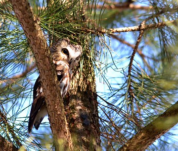 Northern Saw-whet Owls are strictly Nocturnal, with activity beginning at late dusk. During the day, they depend on plumage for camouflage when roosting in foliage, usually close to the ground. When threatened, a Saw-whet Owl will elongate its body in order to appear like a tree branch or bump, often bringing one wing around to the front of the body. Flight is rapid, woodpecker-like, laboured, and undulating. I'm wondering if this one is feeling threatened because he is sort of elongated.