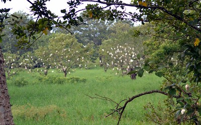 Trees in the distance showing some of the many Cattle Egrets at the rookery.