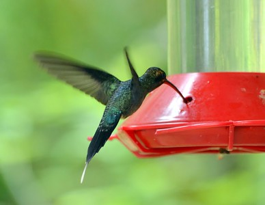 Green Hermit  dark metallic green upperparts and red lower mandible Cerro Azul - private home feeder