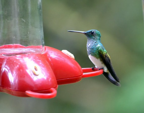 Snowy-bellied Hummingbird (Cerro Azul - Private Home Feeders) This is the 2nd most common hummingbird in Panama.