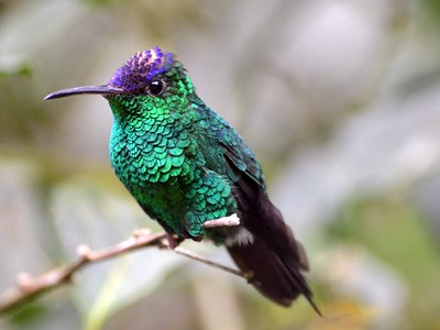 Violet-capped Hummingbird Cerro Azul Private home