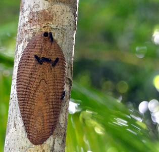Panama Butterflies