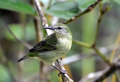 Plain-colored Tanager Gamboa, Panama