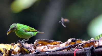 Green Honeycreeper - Female Gamboa, Panama
