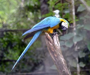 Blue-and-yellow Macaw Caged Bird Summit Gardens, Gamboa Panama