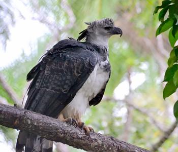 Harpy Eagle Captive Bird Summit Botanical Gardens, Gamboa Panama