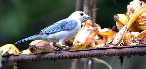 Blue-gray Tanager Gamboa, Panama