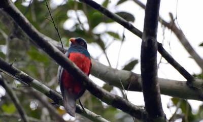 Slaty-tailed Trogan - male Rainforest Discovery Center Gamboa, Panama
