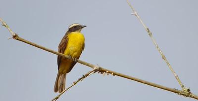 Rusty-margined Flycatcher Summit Botanical Garden, Gamboa Panama