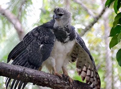 Harpy Eagle The Harpy Eagle is the National bird of Panama Captive Bird Summit Botanical Gardens, Gamboa Panama