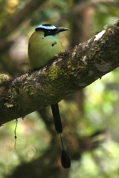 Andean Motmot (Momotus aequatorialis)