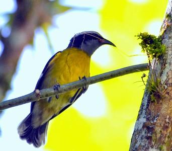 Puerto Rican Spindalis (endemic)