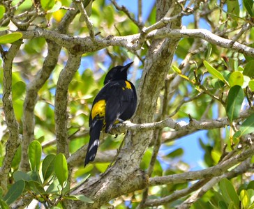 Puerto Rican Oriole (endemic)