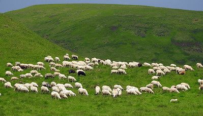 Typical mountain scene of sheep and goat herds