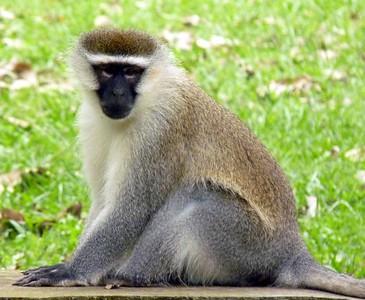 Black-Faced Vervet Monkey - Entebbe Botanical Gardens