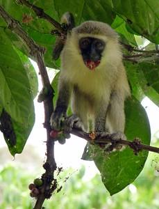 Vervet Monkey eating fruit - need a napkin?