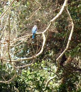 Woodland Kingfisher - Entebbe Botanical Gardens