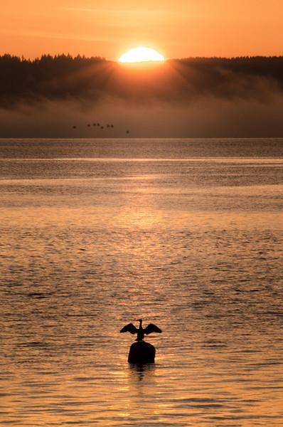 Cormorant Directing Evening Traffic