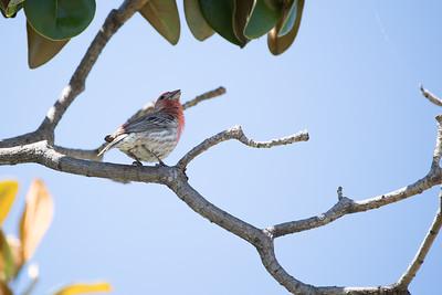 Birding in California 2017