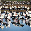 Storks in Hula Valley